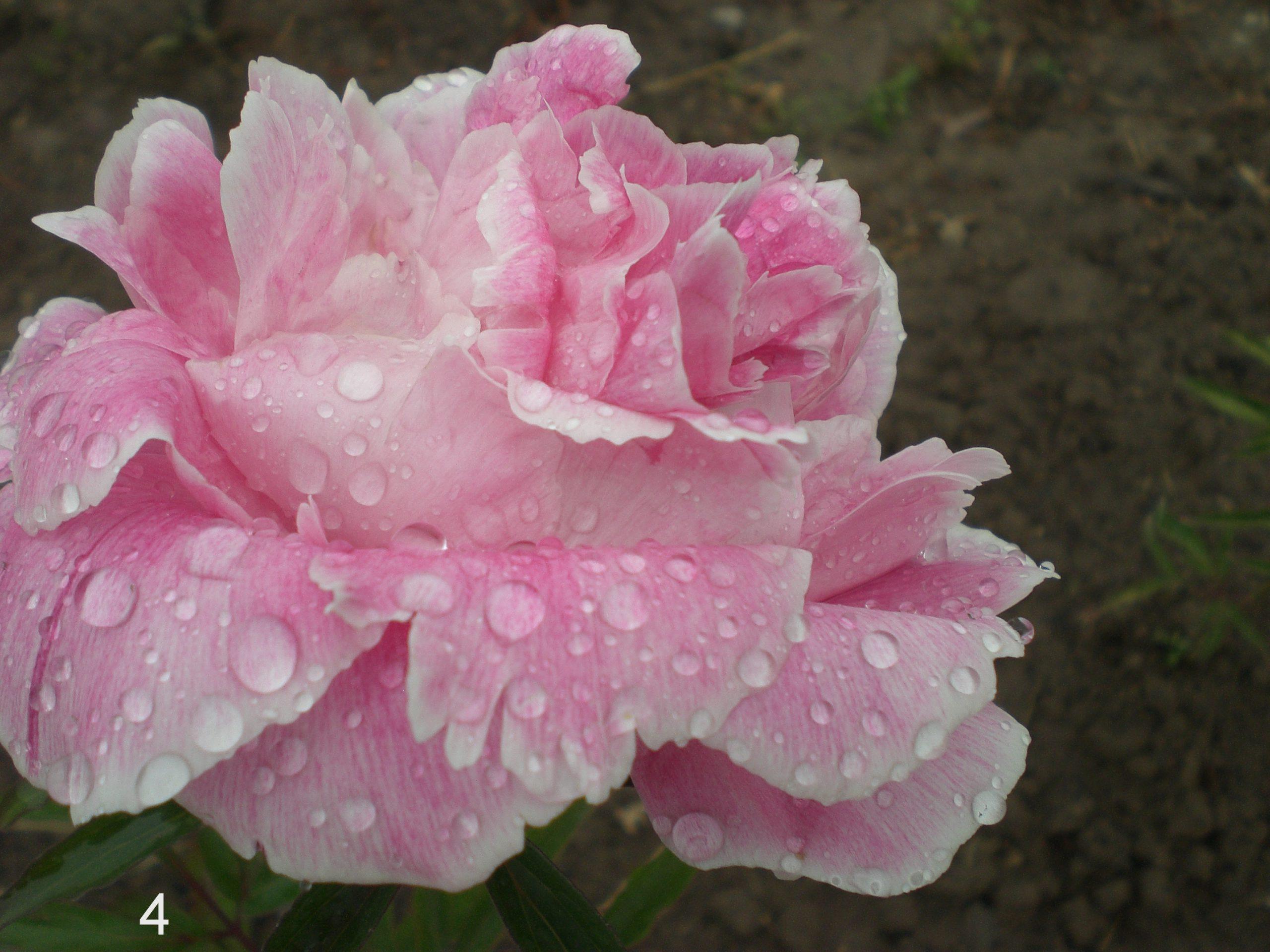 Daugiamečių gėlių spalvų įvairovė (ROŽINĖ)