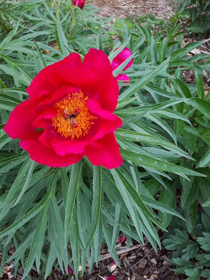Daugiamečių gėlių spalvų įvairovė (RAUDONA)